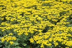 fleurs de chrysanthemum Photo stock
