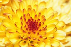 fleurs de chrysanthemum Photo libre de droits