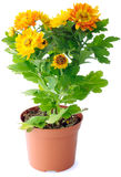 Fleurs de chrysanthemum photographie stock