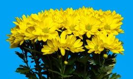 Fleurs de chrysanthemum d'isolat sur le fond bleu Photographie stock
