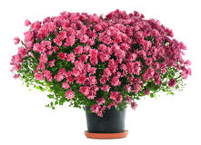 Fleurs de chrysanthemums dans la forme de coeur Image stock