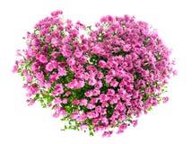 Fleurs de chrysanthemums dans la forme de coeur Image libre de droits