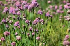 Fleurs de ciboulette Photographie stock