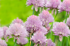 Fleurs de ciboulette dans le potager Image libre de droits