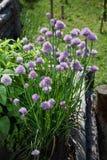 Fleurs de ciboulette dans un jardin Photo stock