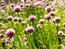 Fleurs de ciboulette fleurissant sur un champ Images stock