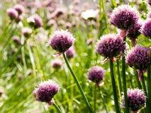 Fleurs de ciboulette fleurissant sur un champ Photos stock