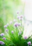 Fleurs de ciboulette sur le fond de jardin d'herbes aromatiques Image stock