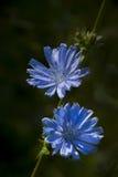 Fleurs de Cichorium Image libre de droits
