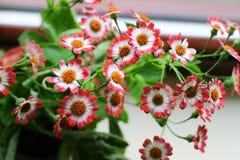 Fleurs de cinéraire Image stock