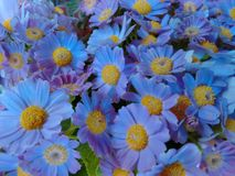 Fleurs de cinéraire - bleu-clair Photo stock