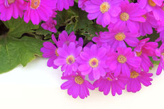 Fleurs de cinéraire de fleuristes Image stock