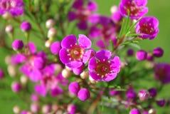 Fleurs de cire Image stock