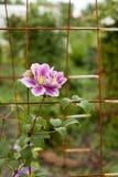 Fleurs de clématite dans le jardin culture photos stock