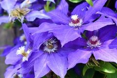 Fleurs de clématite pourprée Photographie stock libre de droits