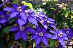 Fleurs de clématite pourprée Photos stock