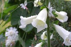 Fleurs de cloche crème après des précipitations images stock