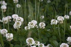 Fleurs de clou de girofle Image stock