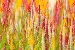 Fleurs de Cockscomb Photos libres de droits
