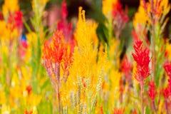 Fleurs de Cockscomb Image libre de droits