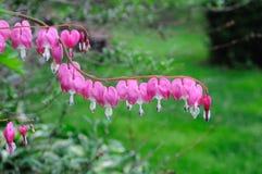 Fleurs de coeur de purge Photo libre de droits