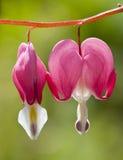 Fleurs de coeur de purge Image libre de droits