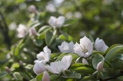 Fleurs de coing d'Apple photographie stock
