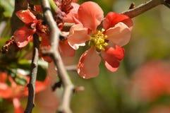 Fleurs de coing fleurissant Image libre de droits