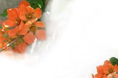 Fleurs de coing sur une forme blanche Photo stock