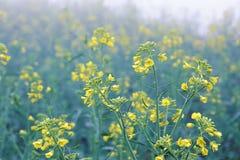 Fleurs de Cole Photos libres de droits