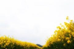 Fleurs de Cole Image libre de droits