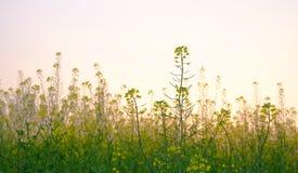 Fleurs de Cole dans la lueur de coucher du soleil image libre de droits