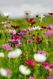 Fleurs de Colorfull dans la campagne Photos stock