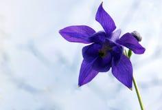 Fleurs de Columbine bleu Image libre de droits