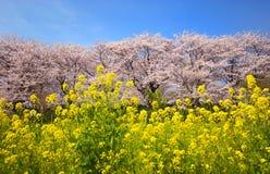 Fleurs de colza et de cerise Photos stock