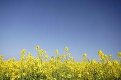Fleurs de colza oléagineux Images stock