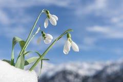 Fleurs de congère et de perce-neige Photo stock