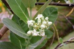Fleurs de corneille Photo stock