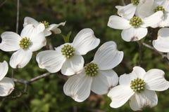 Fleurs de cornouiller Image libre de droits