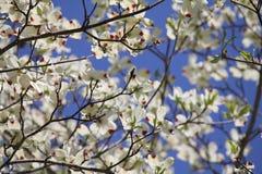 Fleurs de cornouiller Photo libre de droits