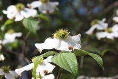 Fleurs de cornouiller photo stock