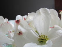 Fleurs de cornouiller photos stock