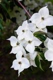 Fleurs de cornouiller de Kousa Image libre de droits