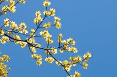 Fleurs de cornouiller fleurissant Image libre de droits