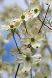 Fleurs de cornouiller fleurissant Photographie stock libre de droits