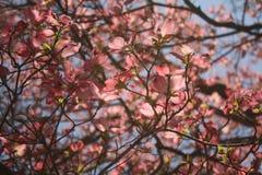 Fleurs de cornouiller de ressort Image stock