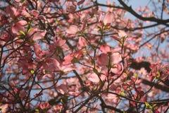 Fleurs de cornouiller de ressort Images libres de droits