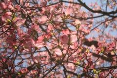 Fleurs de cornouiller de ressort Photo libre de droits