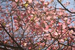 Fleurs de cornouiller de ressort Photo stock