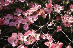 Fleurs de cornouiller de ressort Photos libres de droits